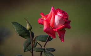 Picture leaves, the dark background, red rose