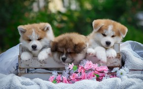 Picture flowers, box, puppies, blanket