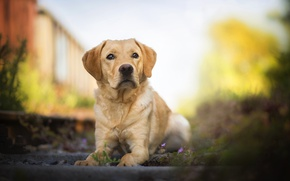 Picture dog, bokeh, Labrador Retriever, Amazing Dogs, Mumble