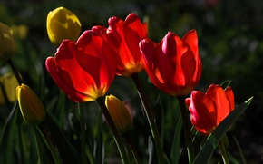 Picture tulips, red, yellow, sunlight