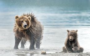 Picture beach, bear, bears, bear, wet, bear