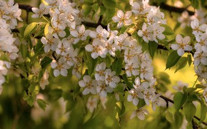 Picture branches, spring, flowering, flowers, wild pear