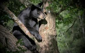 Picture tree, black, bear
