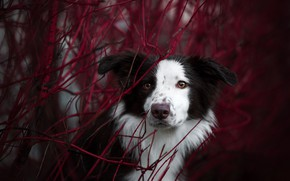 Picture autumn, look, face, branches, portrait, dog, The border collie