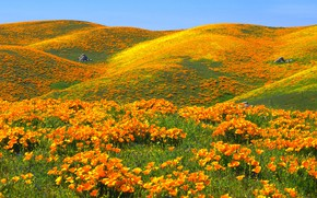 Picture the sky, flowers, hills, Maki, USA, reserve, Antelope Valley California Poppy Reserve