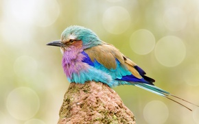 Picture nature, bird, color, sirenevaya roller