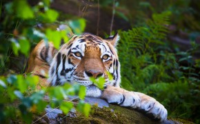Wallpaper the Amur tiger, my planet, nature, wild cat, summer, bokeh, blur, wallpaper., animals, stay, lies, ...