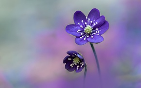 Wallpaper nature, flower, Hepatica Nobilis