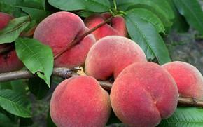 Picture harvest, fruit, peaches