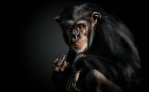 Picture monkey, gesture, chimpanzees