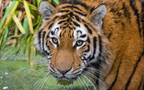 Picture look, face, The Amur tiger