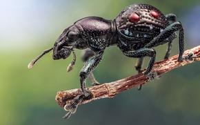 Picture beetle, branch, insect, weevil