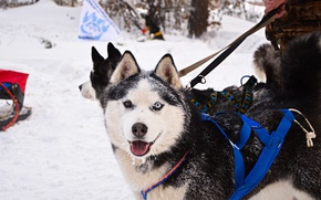 Picture look, each, dog, sport, husky, dog, snow, cute, husky, skijoring
