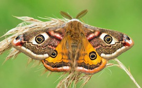 Picture macro, background, butterfly, ear, Small Emperor moth
