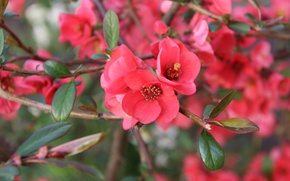 Wallpaper macro, branches, spring, flowering, flowers, the awakening of nature, the Japan quince