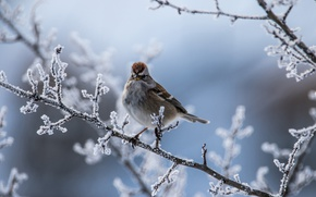 Picture winter, frost, branches, bird, bokeh, Arboreal passerine Bunting