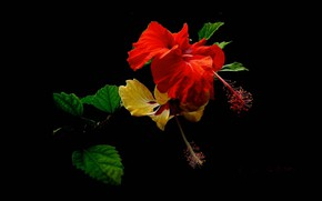Picture leaves, background, petals, hibiscus