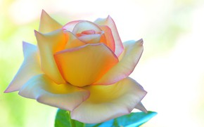 Picture macro, background, rose, petals, yellow