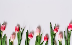 Picture flowers, tulips, pink, romantic, tulips, spring, pink tulips