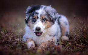 Wallpaper grass, face, background, portrait, dog, puppy, Australian shepherd, Aussie, odd-eyed