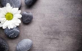 Picture flower, stones, Daisy, flower, stones, spa, zen