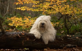 Picture autumn, forest, dog, log, Bobtail, The old English Sheepdog