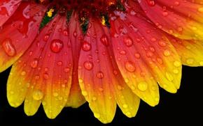 Picture flower, drops, nature, petals, gaylardiya