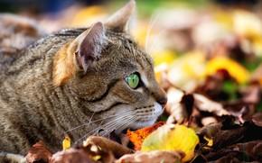 Wallpaper cat, bokeh, muzzle, observation, cat, leaves