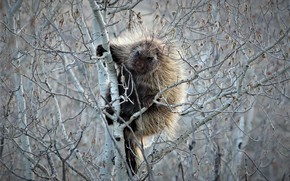 Picture tree, porcupine, nature