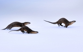 Picture winter, snow, Wyoming, USA, Yellowstone national Park, canadian river otter