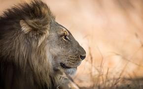Wallpaper king, beast, Leo