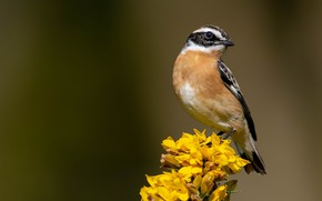 Picture birds, mahalapaye, whinchat