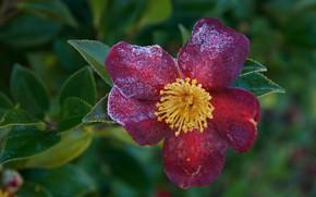 Picture summer, flowers, flowering, shrub, Camellia