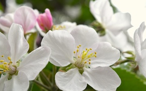 Picture macro, flowers, spring, white, Apple