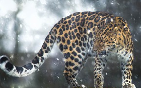 Picture snow, leopard, tail, wild cat