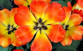 Picture flowers, paint, Tulip, spring, petals