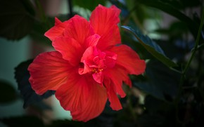 Picture red, flowering, leaves, stamen, hibiscus
