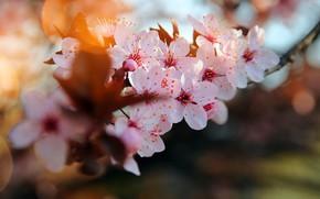 Wallpaper branch, the cherry blossoms, blur bokeh