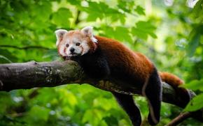 Wallpaper leaves, stay, red Panda, red Panda, tree