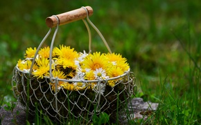Picture flowers, nature, basket, chamomile, dandelions, spring