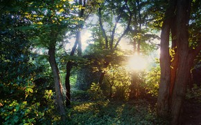 Picture forest, the sun, light, trees, nature