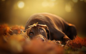 Picture autumn, look, dog