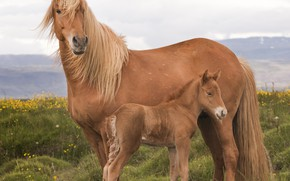 Picture horse, large, mane, color, foal
