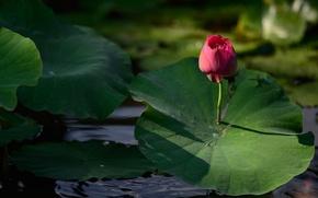 Picture flower, leaves, light, flowers, nature, green, lake, pond, pink, stem, Bud, Lotus, al, Lotus, pond