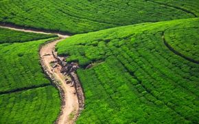 Picture road, greens, stones, field, Sunny, the view from the top, plantation, Sri Lanka, Nuwara Eliya