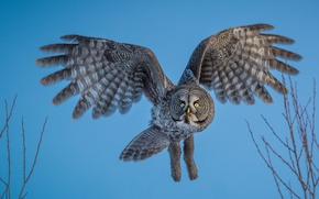 Picture owl, bird, flight, Great grey owl