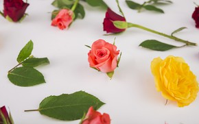 Picture leaves, flowers, roses, colorful, pink, buds, pink, flowers, beautiful, roses, bud