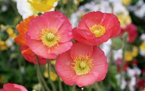Picture macro, Maki, petals