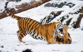 Wallpaper cub, zoo, pair, family, Amur tigers, wild cats, education, two, the game, fight, predators
