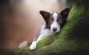Wallpaper dog, look, bokeh, The border collie, face, moss